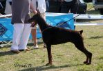 Hdk Dobermann Club Show in Komarom in Hungary